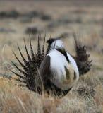 Größeres Salbei-Waldhuhn Centrocercus urophasianus an einem Lek in Se Wyoming 12 Lizenzfreies Stockbild