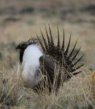 Größeres Salbei-Waldhuhn Centrocercus urophasianus in Se Wyoming 5 Lizenzfreies Stockbild