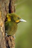Größeres Yellownape, Picus flavinucha, auf dem Baumlochnest, Detailporträt des Grünspechts, Indien Stockbilder