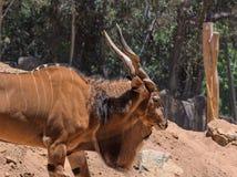 Größte Antilope der östlichen riesigen Elenantilope in der Welt hier bei San Diego Zoo in Kalifornien USA Stockbilder