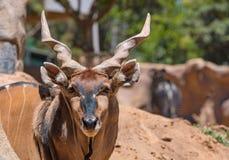 Größte Antilope der östlichen riesigen Elenantilope in der Welt hier bei San Diego Zoo in Kalifornien USA Lizenzfreie Stockfotos