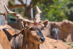 Größte Antilope der östlichen riesigen Elenantilope in der Welt hier bei San Diego Zoo in Kalifornien USA Stockfotografie