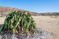 Größte bekannte Welwitschia Mirabilisanlage, die in der heißen trockenen Namibischen Wüste von Angola wächst lizenzfreie stockfotografie