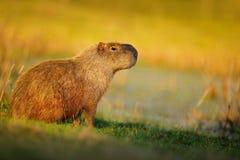 Größte Maus, Capybara, Hydrochoerus hydrochaeris, mit Abendlicht während des Sonnenuntergangs, Pantanal, Brasilien lizenzfreie stockfotos