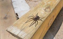 Größte Spinne Canada's, die auf einem Stück Bauholz 4x4 sitzt Lizenzfreie Stockfotografie