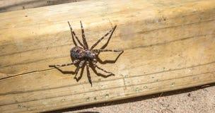 Größte Spinne Canada's, die auf einem Stück Bauholz 4x4 sitzt Stockbilder