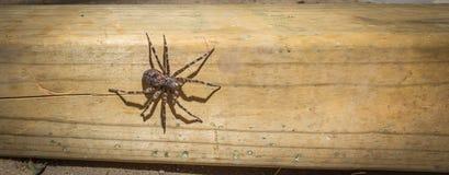 Größte Spinne Canada's, die auf einem Stück Bauholz 4x4 sitzt Stockfotos