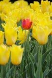 Größte Tulpen der Welt stockfotografie