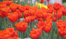 Größte Tulpen der Welt stockbild
