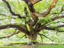 Größter Affe-Hülsen-Baum auf weißem Himmel Lizenzfreies Stockfoto