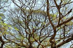 Größter Affe-Hülsen-Baum in Kanchanaburi Stockfotografie