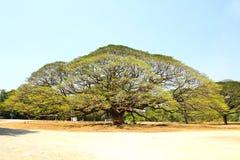 Größter Affe-Hülsen-Baum in Kanchanaburi Lizenzfreies Stockbild