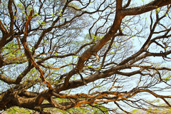 Größter Affe-Hülsen-Baum in Kanchanaburi Lizenzfreie Stockfotografie