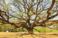 Größter Affe-Hülsen-Baum in Kanchanaburi Stockfotos