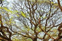 Größter Affe-Hülsen-Baum in Kanchanaburi Stockfoto