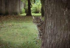 Grönögd katt som kikar bak trädet Royaltyfri Fotografi