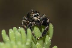 Grönögd spindeldroppe av dagg Royaltyfria Bilder
