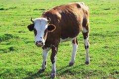 grön äng för kalv Arkivbild