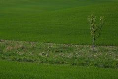 Grön äng för vår med ett isolerat träd Arkivbild