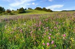 Grön äng med rosa växt av släktet Trifolium Fotografering för Bildbyråer