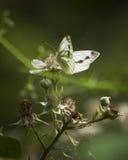 Grön ådrad vit fjäril, Birnie fjord arkivfoto
