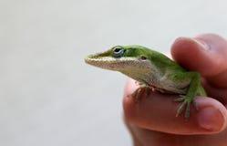grön ödla Fotografering för Bildbyråer
