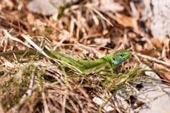 Grön ödla Arkivfoto