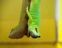 Grön ödla Arkivfoton