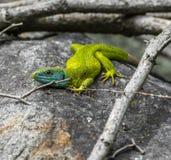 Grön ödla Royaltyfri Foto
