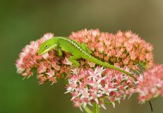 grön ödla för anole Royaltyfria Foton