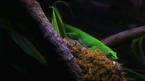 Grön ödla i ett träd Arkivfoton