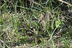 Grön ödla i grönt gräs Arkivbild