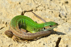 Grön ödla - Lacertaviridis Arkivfoto