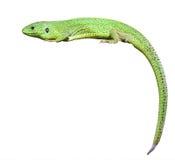 Grön ödla med en vriden svan royaltyfri bild