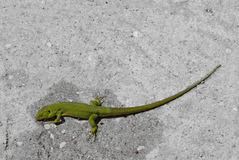 Grön ödla på grått jordgolv Fotografering för Bildbyråer