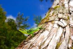 grön ödlatree Arkivfoton