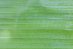 Grön abstrakt begrepp för bananleafbakgrund Royaltyfri Fotografi