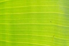 Grön abstrakt begrepp för bananleafbakgrund Fotografering för Bildbyråer