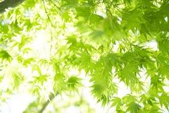 Grön acerpalmatum för försommar royaltyfri bild