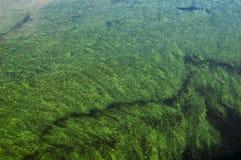 Grön alg på vattenyttersidan Royaltyfria Bilder