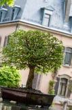 Grön alm som bonsaitree Arkivfoto