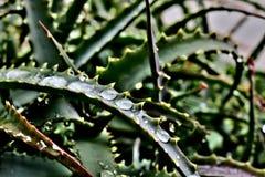 Grön aloe med långa sidor på som droppar av vatten efter regn royaltyfria bilder