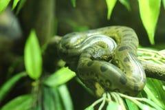 Grön anaconda fotografering för bildbyråer