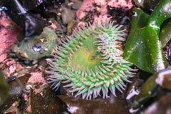 Grön anemon för jätte Arkivfoton