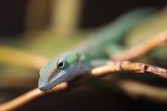 Grön anole för kuban Arkivfoton