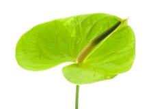 Grön Anthurium, Royaltyfri Fotografi