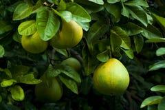 Grön apelsin Arkivfoto