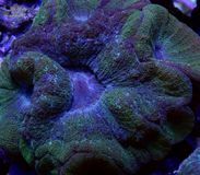 Grön Australomussa korall Arkivbilder