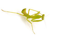 grön bönsyrsa Arkivfoton
