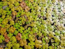 Grön bakgrund av andmatet Lemnoideae i ett damm i den soliga dagen arkivbild